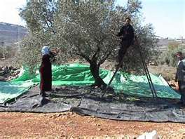 Ageless Impact olive oil process