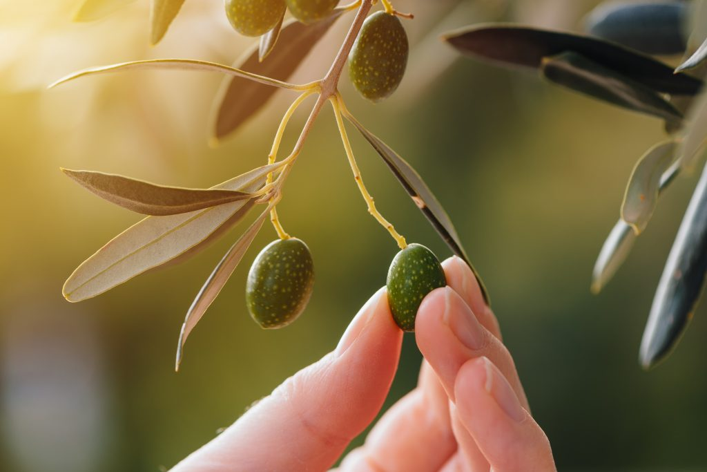 The Benefits Of Olive Oil – A Powerful Anti-Aging Tonic!