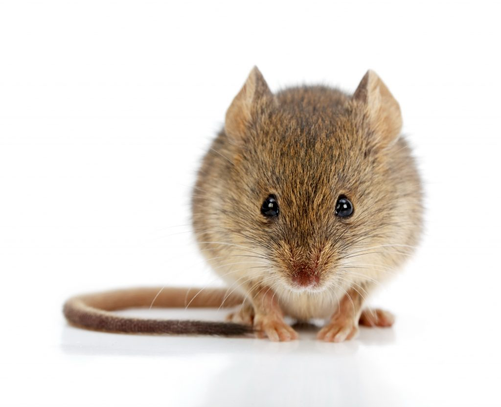 What's Safer… Drinking A Dissolved Mouse Or A Can Of Soda?