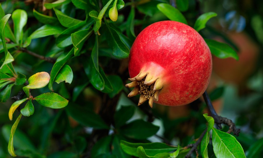 "One of God's ""Miracle Foods"" – The Health Benefits of Pomegranates"